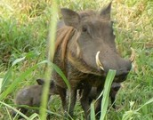 How warthogs reproduce