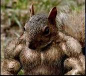 The buff Squirreleer