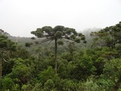Para a pine tree