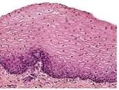 Epithelial Tissue