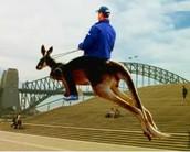 Kangaroo rental