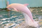 דולפין ורוד וחמודי