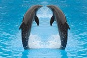 Dolphins swimming in pairs