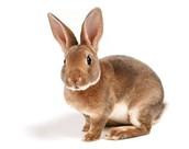 לארנב יש חוש שמיעה מפותח