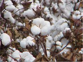 Cotton for Gold?