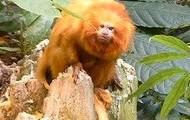 Golden Lion Tamarind Monkey