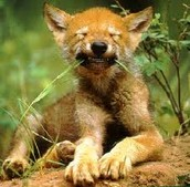 Red Wolf cub chewing grass
