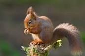 Red Squirrel- Sciurus vulgaris