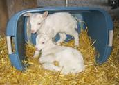 Two wittle lambs were playing hide n' seek
