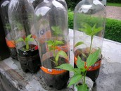 Tomatosphere & Plant Experiment