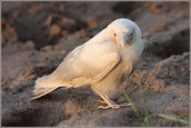 Find about real white crows