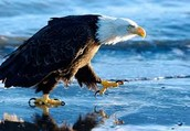 eagle swooping down on its pray