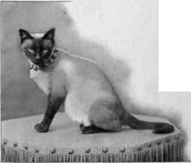 What is the history of a Siamese cat?