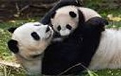 PANDAS AND THEIR YOUNG