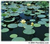 Reproductive Process of the American Lotus