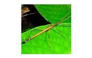 Stick Bug.