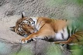 This is a tiger resting on a rock.