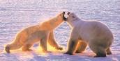 Two Polar Bears fighting.