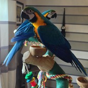 !BLUE AND GOLD MACAWS NOW AVAILABLE!