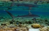 Tubbataha Reef  tiger shark