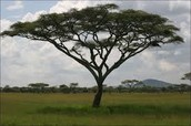 Getting to know the Acacia