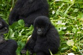 The activities of humans in gorilla habitats have led to major threats to the existence of these fine animals