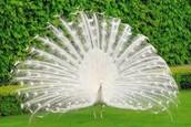 Description of a Peacock