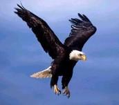 Eagle Pic 2