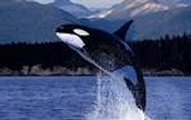 Here is an orca aka killer whale