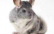 rocky my chinchilla