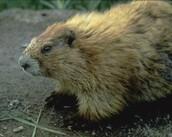 Washington states land mammal
