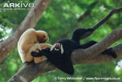 Female gibbon playing with male gibbon