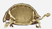 basic Turtle