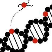 Jumping Genes (AKA TRANSPOSONS)