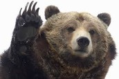 Bear Research Project