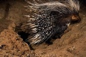 A PORCUPINE IN THE NIGHT