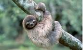 Sloth/Pere zoso