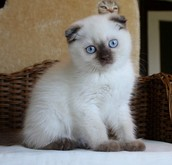 Example of a Mix Scottish Fold