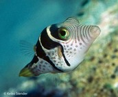 Sharp Nose Puffer
