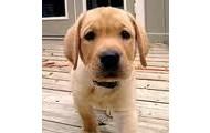 Yellow Lab Puppy!