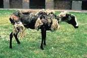 hoe het schaap na een tijd er uitziet