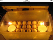 This is an incubator with chicken eggs inside it!