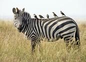 Oxpecker & Zebra