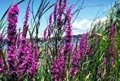 Purple Loosestrife: Is it a beauty or a beast?