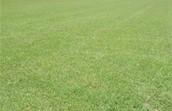 Centipede grass picture