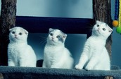 White Scottish Fold Kittens