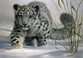Join the fight to help save snow leopards