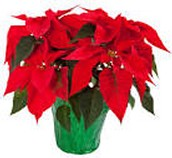 Poinsettia House Plant