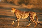 Cheetah   =