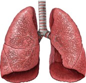 Function of the lungs, blood vessels and blood